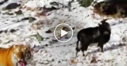 They Fed This Hungry Tiger A Goat For Dinner, But Then… Nobody Expected THIS To Happen…