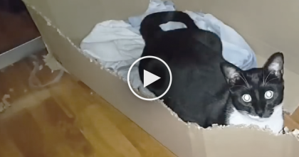 This Box-Shreading Cat Makes Quick Work Of Any Cardboard You Give Him…Just WATCH.