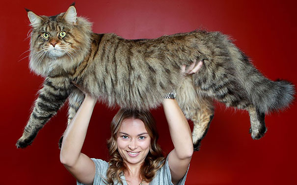 10_Maine_Coon_Cat_In_Air