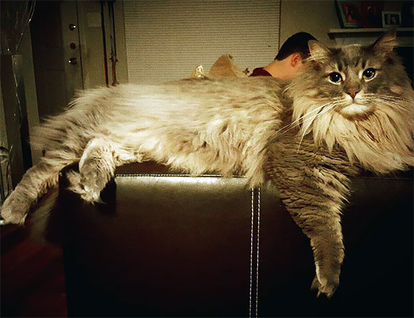 11_Maine_Coon_Cat_Lounging_On_Couch
