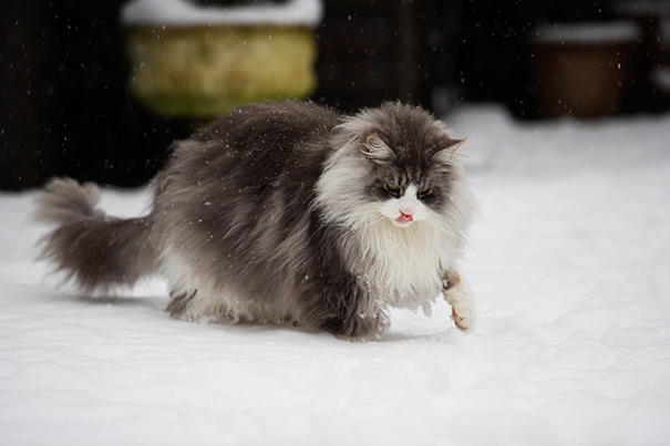 14_Maine_Coon_Cat_Plays_In_Snow