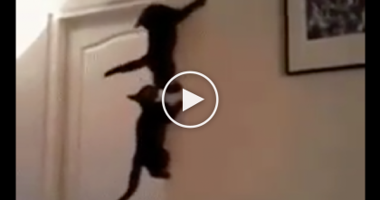 Crazy Kittens Race Each Other Up The Wall…And It's The Best Thing You Will See All Day, LOL!!