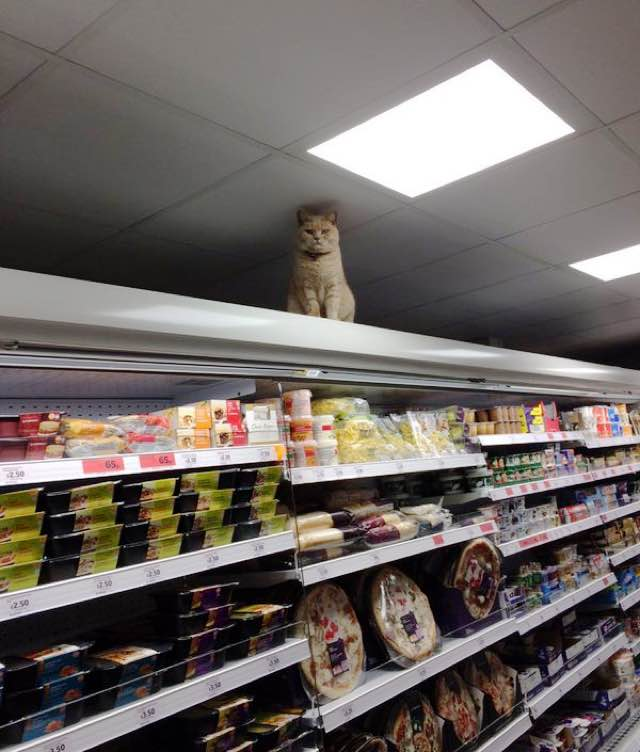 fluffy-supermarket-kitty-3