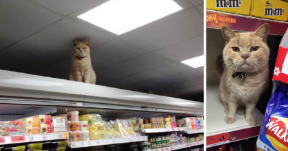Fluffy 'Supermarket Kitty' Refuses To Leave His Perch…No Matter What The Managers Do!