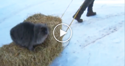 Human Takes Snow Sled With Hay Bale To Feed Animals, But Look Who's On Top?…
