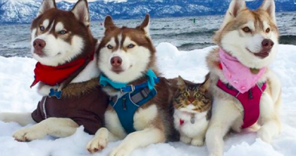 Kitten Was Saved By Husky Dogs, But Now Has Joined The Husky Pack As Bestest Friends…