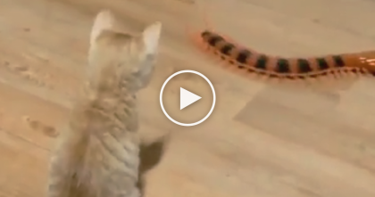 Kitty Discovers Orange Centipede Toy For The First Time…His Reaction Is Just Hilarious!!