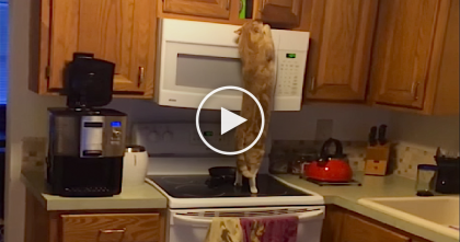 Nothing Stops This Cat When He Smells Something Above the Microwave… Just Watch!