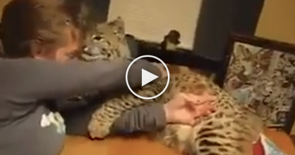 Rescued Bobcat Refuses To Let Human Eat, But What He Does Instead… Sweetest Thing EVER.