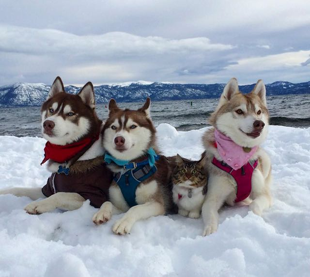 this-kitten-was-raised-by-husky-dogs-but-now-has-joined-the-husky-pack-its-a-miracle-1
