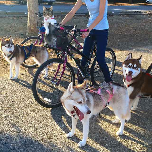 this-kitten-was-raised-by-husky-dogs-but-now-has-joined-the-husky-pack-its-a-miracle-11
