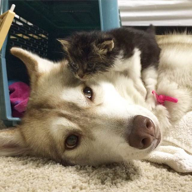 this-kitten-was-raised-by-husky-dogs-but-now-has-joined-the-husky-pack-its-a-miracle-2