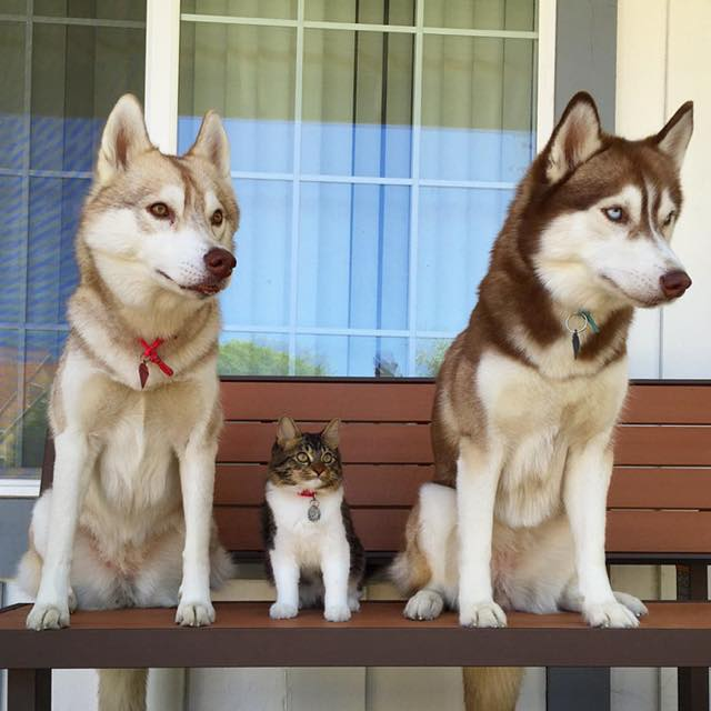 this-kitten-was-raised-by-husky-dogs-but-now-has-joined-the-husky-pack-its-a-miracle-5