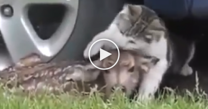 Cat Tries To Rescue Little Fawn, But Then Mother Comes… Kitty Won't Stop Following! LOL.