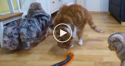 Cat's Confused Reaction When They Discover Giant Motorized Centipede For First Time… LOL!!