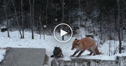 Fearless Cat Ends Up Competing With Unlikely Animal Who Walks Right Up… Just WATCH.