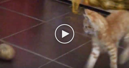 Ginger Kitty Spots A Large Potato On The Ground, But Next Thing You Know?? TOO FUNNY.