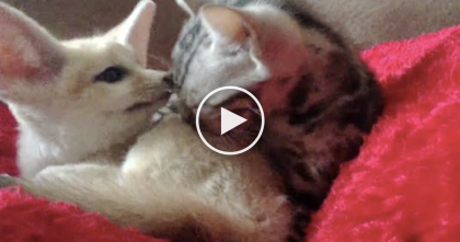 Kitten Meets Fennec Fox For The Very First Time. Now Watch What The Kitten Does.