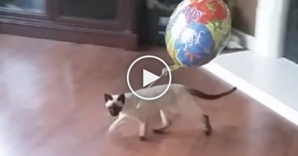 Kitty Takes Birthday Balloon Everywhere He Goes, But Then… Keep Watching Till 1:31, LOL.
