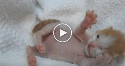 Little Newborn Ginger Kitten Discovers Humans Fingers, And It's The Cutest EVER.