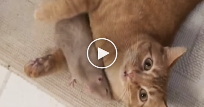 Pet Rats Form An Unlikely Bond With House Cat…When You See Them?  I STILL Can't Believe This.