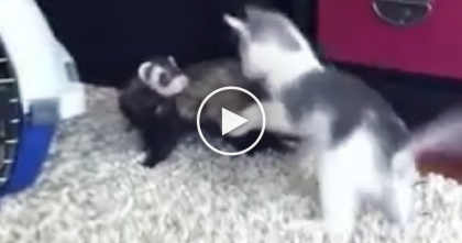 When This Kangaroo Jumping Kitten Discovers The Pet Ferret… Oh My, It's Just Hilarious!