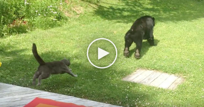 Black Bear Invades Cats Territory, Now Watch How The Cat Reacts… Whoa, He's CRAZY