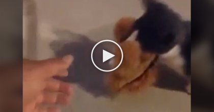 Cat Discovers A Stuffed Lion, Now Watch What He Does With It… Oh. My. GOODNESS.