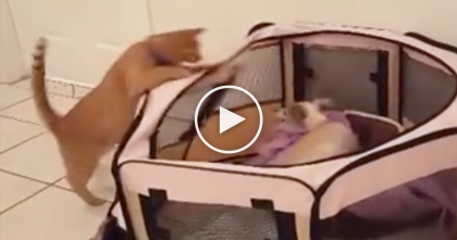 Cat Notices The Puppy In His Pen, Now Watch What He Does Next… It's Just Hilarious!!