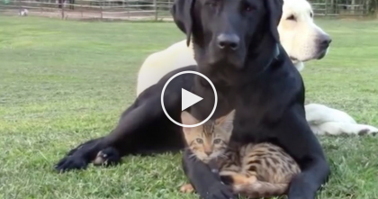 Kitty Is Giving His Best Friend A Massage, Now Watch To See What Happens After She Stops…
