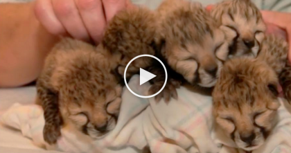 Mother Of Cheetah Cubs Dies, Leaving 5 Helpless Babies…Now Watch Who Comes To The Rescue