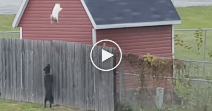 Rude Human Lets Dogs Out To Chase Cat Off Property, But Watch What The Cat Does