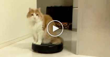 What Happens When This Cat Discovers The Roomba Vacuum, Just Watch It… LOL!!