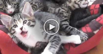 Meowy Chatty Moment When Little Kittens Wake Up, But Just Listen…TOO Cute To Handle
