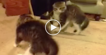 The Moment This Kitten Discovers The Mirror For The First Time… Funniest Reaction EVER.