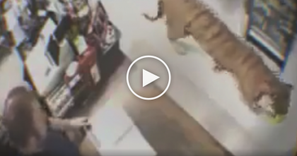 Tiger Walks Into Store, But When Everyone Notices…OMG, Now Watch What They Do