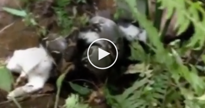 Unbelievable Footage: Fearless Man Rescues A Poor Strangled Cat From Evil Snake