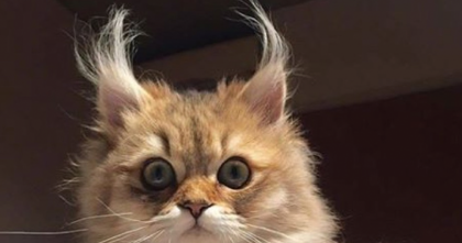 9 Cats That Prove The Fluffiest Ears Are The Cutest Ears… Wait Till You See #4, OMG…
