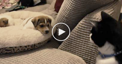 Cat Meets New Puppies For The First Time, But Just Keep Watching Till The End…