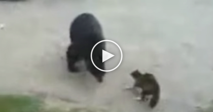 Fearless Cat Defeats Dangerous Grizzly Bear In Incredible Stand Off… UNBELIEVABLE.