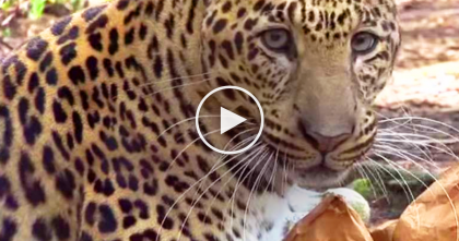 Leopards, Tigers And Lions Try Catnip For The First Time, Now Watch The Results… It's Hilarious!