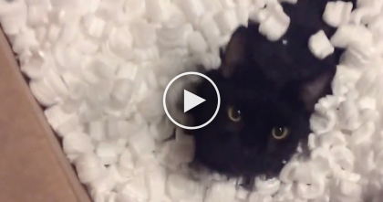This Cat Jumps Inside A Box Of Packing Peanuts, Now Watch What He Does Next… LOL!