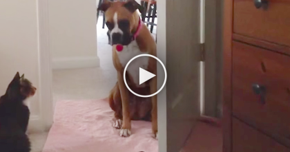 Dog Tries To Come Inside, Now Watch What The Cat Does… Size Doesn't Matter, Cats RULE.