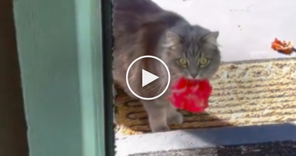 This Kitty Brings A Gift Back To His Owner, Just Watch And See What It Is… How Sweet Is This?!