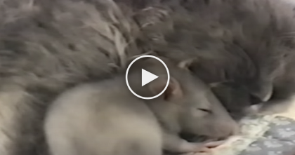 This Kitty Is Sleeping, But When You See Who Comes To Snuggle… I Can't Believe My Eyes!