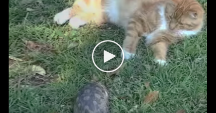 VIDEO: Turtle Wants To Play With Orange Tabby Kitty, But Watch The Response… Omg, NOT TODAY.