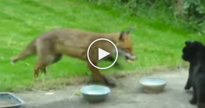 Wild Fox Tries To Steal The Cat's Food, But He Has No Idea What's About To Happen… WHOA
