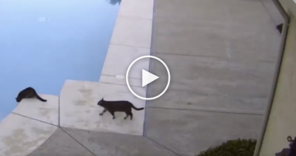Cat Plays A Prank On His Friend, But Just Watch How It Ends Up… This Is TOO Funny, LOL