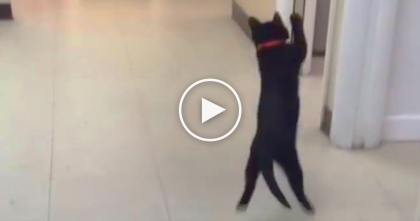 "Cat Sees A Ball For The First Time, Now Watch His Reaction… OMG, ""Boing, Boing, Boing…"""
