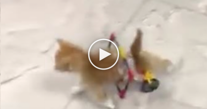 Rescue Kitten Discovers His Wheelchair For The First Time, Just WATCH His Response… Priceless!!
